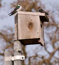 Violet Green and Tree Swallows on bird house